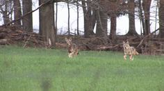 Try these techniques when #hunting #coyote east of the Mississippi. #hunt http://www.biggamehunt.net/articles/coyote-hunting-east-mississippi