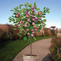 Standard Plum Opal - 1 tree Buy online order yours now