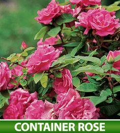 Best climbing rose ever--Zephirine Drouhin antique climbing rose--tolerates poor soil and blooms in partial shade; no thorns and smells like raspberries.