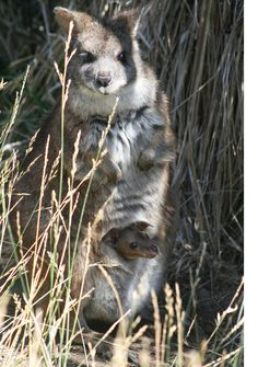 Rare Parma Wallaby joey peeks out from mother's pouch in San José