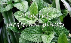 10 medicinal plants that can (and should) be grown in your home