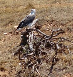 White bellied Sea Eagle Kangaroo Island Marine Adventures