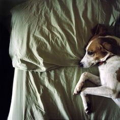 Jack Russell Terriers Are Great Cuddlers Friday Dog Dogs Terrier
