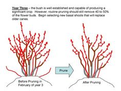 The NC Blueberry Journal: Pruning Young Blueberry Plants Pruning Blueberry Bushes, Pruning Fruit Trees, Tree Pruning, Trees To Plant, Berry Plants, Fruit Plants, Fruit Garden, Edible Garden, Blueberry Bush Care
