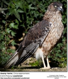 Swamp Harrier - Circus approximans