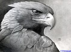 How to Draw a Eagle   How to Draw a Realistic Eagle, Golden Eagle, Step by Step, Birds ...