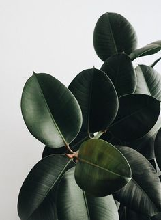 Plant Aesthetic, Beige Aesthetic, Ficus Elastica, Plant Wallpaper, Green Nature, Lush Green, Plant Decor, Shades Of Green, Wall Collage