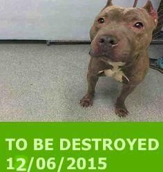 GONE 12/06/2015 --- Manhattan Center  My name is KEVIN. My Animal ID # is A1059540. I am a male gr brindle pit bull mix. The shelter thinks I am about 4 YEARS old.  I came in the shelter as a OWNER SUR on 12/03/2015 from NY 10034, owner surrender reason stated was NEW BABY. http://nycdogs.urgentpodr.org/kevin-a1059540/