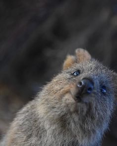 Happy Animals, Cute Baby Animals, Animals And Pets, Funny Animals, Worlds Cutest Animals, Animals Of The World, Quokka Baby, Pet Peeves, Tier Fotos