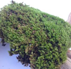Live Moss Fresh Moss Terrarium Supplies by PiccolaPianta on Etsy