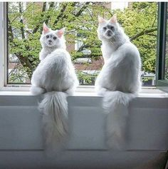We are looking the wrong way Tap the link for an awesome selection cat and kitten products for your feline companion! Funny Animals, Cute Animals, Clumping Cat Litter, Cat Pose, Tier Fotos, Cat Facts, White Cats, Domestic Cat, Maine Coon