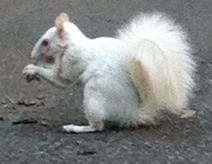 The elusive, most wanted White Squirrel can be found at Government Avenue the lane that starts at Adderley and ends opp the Mount Nelson. He is definitely not camera shy and will hang around for a few photo 'ops'. First you have to find him! Camera Shy, Cape Town, Squirrel, Photo S, City, Squirrels, Cities, Red Squirrel