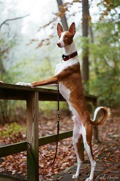 Dogs — caanubis:  Podenco Ibicenco aka Ibizan hound by...