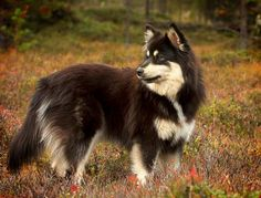 Lapponian herder in Finland