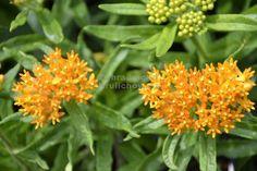 Výška:  70 - 80 cm  Květ:  oranžový, VII. - VIII. Dekorativní trvalka, zajímavá nejenom květy, ale také... Butterflies, Herbs, Garden, Plants, Garten, Lawn And Garden, Butterfly, Herb, Gardens