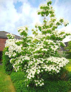 Japanse Kornoelje 'Milky Way' (Cornus kousa 'Milky Way' Japanese Garden Plants, Japanese Garden Design, Outdoor Landscaping, Outdoor Plants, Baumgarten, Palmiers, Garden Shrubs, White Gardens, Garden Theme