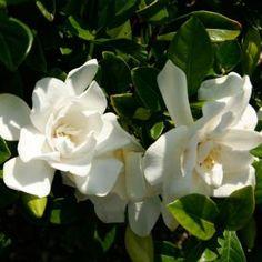 Jubilation Gardenia, Live Evergreen Shrub, White Fragrant Blooms - 20963 - The Home Depot Landscaping Shrubs, Garden Shrubs, Landscaping Ideas, Texas Landscaping, Flowering Bushes, Perennial Bushes, Perennials, White Gardenia, Gardenia Bush