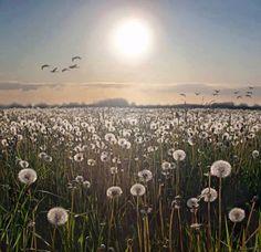 `Lovely field of dandelions!