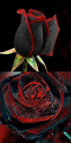 US$4.49 + Free shipping.100Pcs black rose seeds, flower seeds, bonsai, perennial, rare flower, special red edge in each petal.