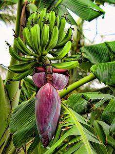 Banana Flower Art Print by Dan McManus. All prints are professionally printed, packaged, and shipped within 3 - 4 business days. Choose from multiple sizes and hundreds of frame and mat options. Exotic Fruit, Exotic Plants, Exotic Flowers, Tropical Flowers, Tropical Plants, Beautiful Flowers, Banana Blossom, Banana Flower, Flower Prints