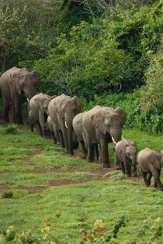 Elefanten Familie, wie Perlenschnur