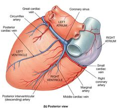 Posterior view of the heart anatomy pinterest cardiology and posteriorinterventricularsulcus right coronary artery ccuart Choice Image