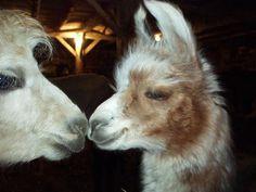 More alpaca/llama love