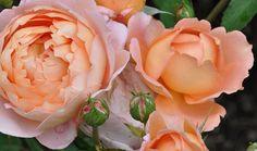 Natures Pillow ~ Rose Garden in Portland Oregon, July 2011