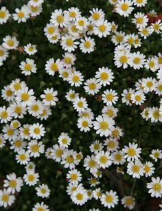 Miniature Daisy (Bellium minutum)