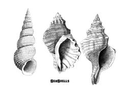Ink Drawing Pen and Ink Drawings - Arts, Crafts, and Baby Tortoises - Shell Drawing, Painting & Drawing, Tattoo Tradicional, Seashell Tattoos, Baby Tortoise, Ink Drawings, Shell Art, Art Sketchbook, Sea Shells