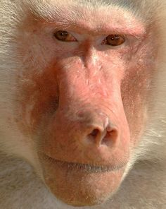 Hamadryas baboon extremely close-up! Baboon facts, photos and information precisely detailed in our amazing -AnimalStats- Fact Files Cute Animal Memes, Cute Animal Videos, Animal Facts, Funny Baby Gif, Funny Babies, Snake Gif, Extreme Close Up, Cartoon Faces, Baboon