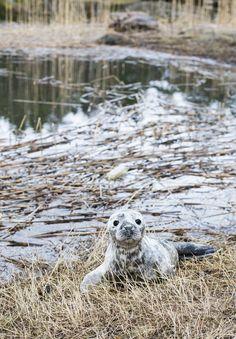 """Hylje poikasen bongaus! ©Mcigorsklan: """"Retkeilemme luontokohteissa paljon ja sattui näin hauska tapahtuma että kun ensimmäistä kertaa kävimme Kirkkonummen Linlossa niin ulkoilupaikalle mennessämme meitä tervehti tämä kaunis pieni hylje vauva rannalla :)"""""""