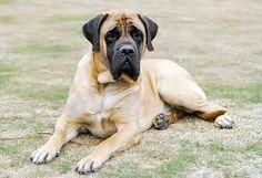 The four breeds most commonly called Mastiffs are the English Mastiff, the Neapolitan Mastiff, the Bull Mastiff and the Tibetan Mastiff. American Mastiff, British Mastiff, Giant Dog Breeds, Giant Dogs, Large Dog Breeds, Old English Mastiffs, English Mastiff Puppies, Love Dogs, Big Dogs