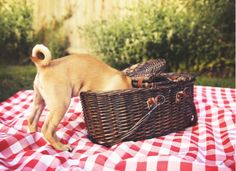 Picnic Dangers for Dogs Chug Puppies, Chug Dog, Cute Dogs And Puppies, Doggies, Hamsters, Picnic Snacks, Cute Dogs Breeds, Training Your Puppy, Healthy Snacks For Kids