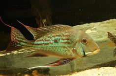 Geophagus winemilleri - Größere Cichliden Südamerikas - americanfish.de Aquaristik Forum