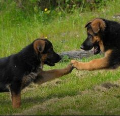 FLEX Rx helps the German Shepherd and dogs of all sizes to manage their Hip Problems. Pawfect! Visit prolabspets.com! #prolabspets