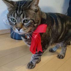 こんにちは☺☺ 写真は愛猫のぐりです🙌 今は実家で飼われていますが。 うちの母にプレゼントした包装についてたリボンをつけてみたした(*´`)♡ 男の子だけど、柄のせいで赤が似合う(笑) 違和感がないのか、ずっとつけてました(笑) (首輪の上からつけていました☺) またお知らせもあるので、その時にฅ•ω•ฅ 皆様よい週末を♪  #ハンドメイド #ハンドメイドアクセサリー #手作り #手作りアクセサリー #ハンドメイド部 #はんどめいど部 #handmade #アクセサリー #ピアス #イヤリング #ヘアゴム #シュシュ #チョーカー #タッセル #タッセルピアス #大ぶりピアス #マーブルピアス #minneにて販売中 #minneにて販売 #minne #ミンネ  #アンティーク調 #アンティークピアス #ねこ部 #猫 #愛猫 #chouchou