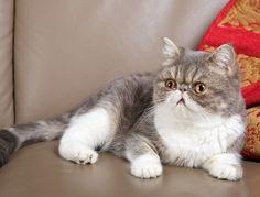 The Exotic Shorthair Cat - Cat