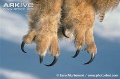 Eurasian eagle-owl talons close up