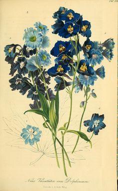 Neue varietaten von delphinium I 1857 Vintage Botanical Prints, Botanical Drawings, Vintage Prints, Vintage Illustration, Illustration Blume, Botanical Flowers, Botanical Art, Vintage Flowers, Blue Flowers