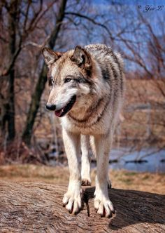 happy wolf on a log by Yair-Leibovich.deviantart.com on @deviantART