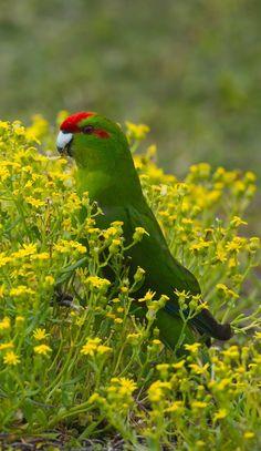 Red-crowned Parakeet, Kakariki NZ