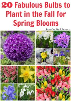 20 Fabulous Bulbs to Plant in the Fall for Spring Blooms/ I planted 50 Surprise Lilies (not a Spring bloomer) about 2 years ago and now have at least 63 sprouts scattered all over my garden. Will have to dig some up and spread the wealth around.