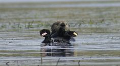 Typically SORAC monitored 501, along with the other surrogate-reared sea otters in Elkhorn Slough, about once a week. Let us know what you think about Otter 501: A webStory by completing our short survey at http://www.surveymonkey.com/s/LF9DGTM.