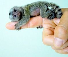 The finger monkey aka pygmy marmoset