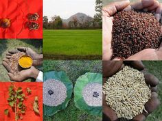 Validated and Potential Medicinal Rice Formulations for Hypertension (High Blood Pressure) with Diabetes mellitus Type ii Complications (TH Group-300-1A) from Pankaj Oudhia's Medicinal Plant Database