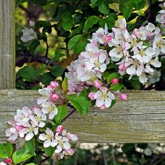 Apple blossom by Phil Gates