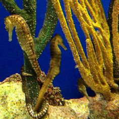Seahorses at Monterey Bay Aquarium - I love this Aquarium! Make sea horses get pregnant and give birth! I likey!