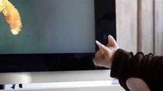Sphynx chat aime regarder la télé