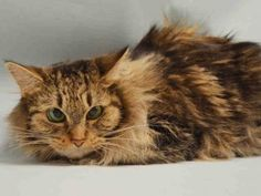 **TBD UNKNOWN 11/24/15**          NO TIME FOR SHY MUFFY!! MUFFY is a Norwegian Forest mix who is being given up by her owner of 2 years.....MUFFY is a quiet lady who has been a solo cat and is comfortable with routine.....LOOKING FOR A COMPANION TO SHARE THE QUIET TIME WITH?? LOOK NO FURTHER....A LITTLE LOVE AND PATIENCE AND MUFFY WILL BE ALL YOURS...APPLY TO FOSTER OR ADOPT HER NOW!!